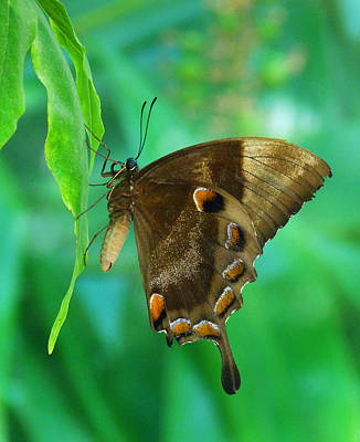 Photograph - Resting Ulysses Butterfly by Margaret Saheed