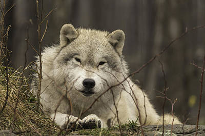 Photograph - Resting Wolf by Josef Pittner