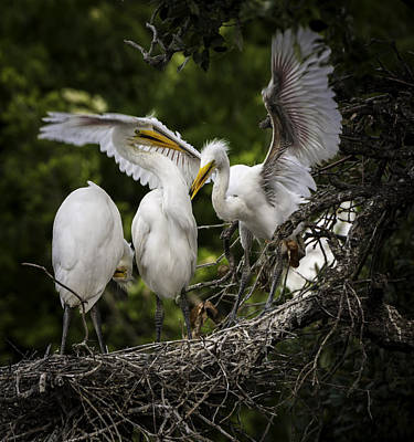 Photograph - Restless Teenage Egrets by Donald Brown