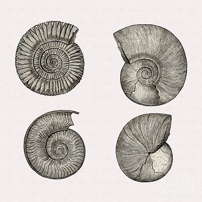 Photograph - Restored 1893 Ammonite Illustration by Phil Cardamone