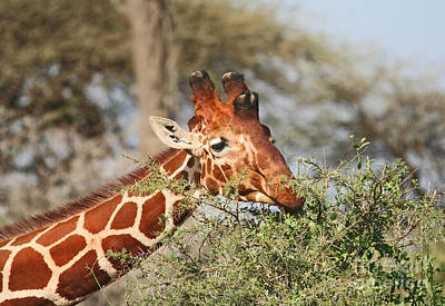 Reticulated Giraffe Browsing Acacia Kenya Art Print