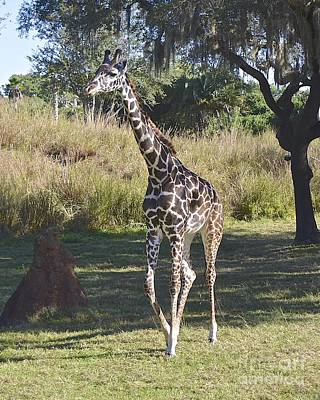 Photograph - Reticulated Giraffe by Carol  Bradley