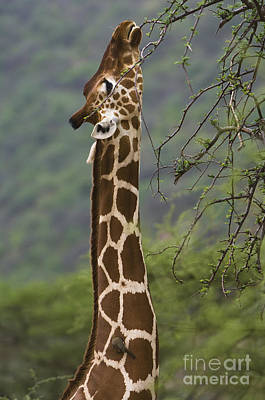 Photograph - Reticulated Giraffe Eating From Acacia by John Shaw
