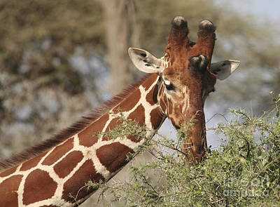 Photograph - Reticulated Giraffe Feeding On Acacia by Liz Leyden