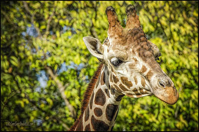Giraffe Photograph - Reticulated Giraffe Kisses by LeeAnn McLaneGoetz McLaneGoetzStudioLLCcom