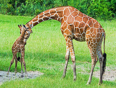 Photograph - Reticulated Giraffe Mother And Calf by Millard H. Sharp