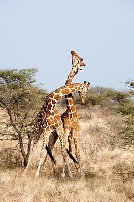 Reticulated Giraffes Giraffa Art Print by Panoramic Images