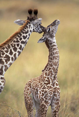 Reticulated Giraffes Grooming Art Print by Jean-Michel Labat