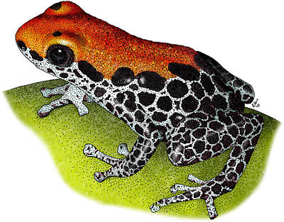 Photograph - Reticulated Poison Dart Frog by Roger Hall