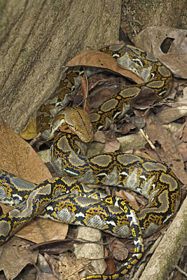 Burmese Python Wall Art - Photograph - Reticulated Python by Chris Mattison/FLPA