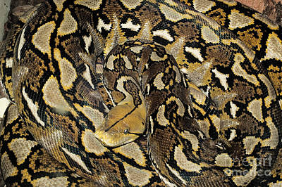 Photograph - Reticulated Python by Nature's Images