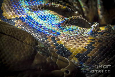 Photograph - Reticulated Python With Rainbow Scales 2 by Clare Bambers