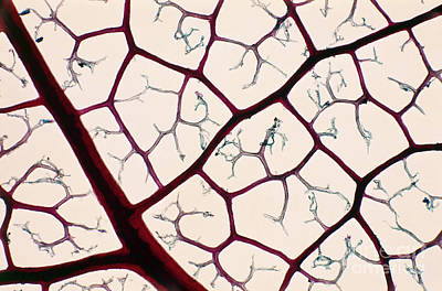 Photograph - Reticulation Of Leaf Veins Lm by De Agostini Picture Library