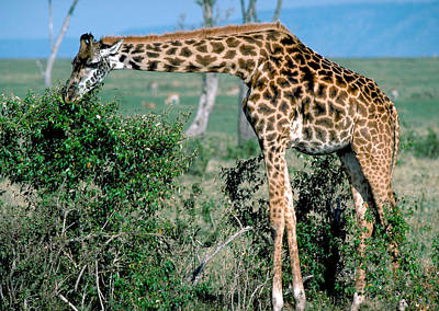 Staff Picks Judy Bernier Rights Managed Images - Retriculated Giraffe in Kenya Royalty-Free Image by Carl Purcell