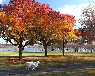 Photograph - Retriever In Fall by Coby Cooper
