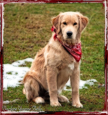 Photograph - Retriever Puppy In Red Bandana by Darlene Bell