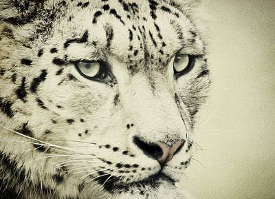 Photograph - Retro Snow Leopard by Chris Boulton