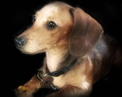 Dachshund Puppy Digital Art - REX by Donna Brown