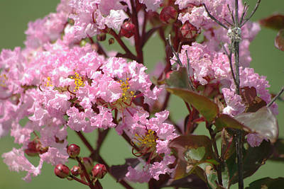 Photograph - Rhapsody In Pink Crape Myrtle 1 by Robyn Stacey