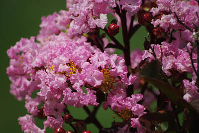 Photograph - Rhapsody In Pink Crape Myrtle 2 by Robyn Stacey