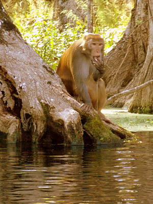 Photograph - Rhesus Monkey 2 by Sheri McLeroy