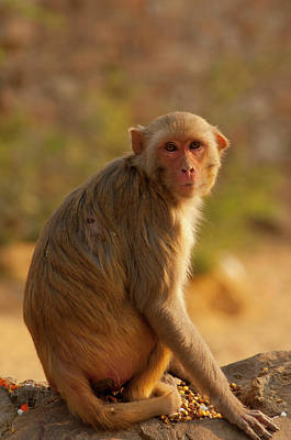 Jaipur Photograph - Rhesus Monkey, Monkey Temple, Jaipur by Inger Hogstrom