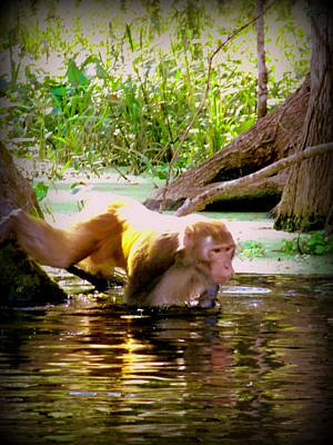 Photograph - Rhesus Monkey Silver Springs 1 by Sheri McLeroy