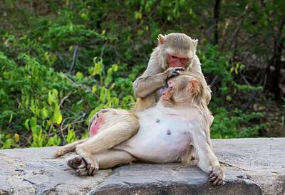 Bonding Photograph - Rhesus Monkeys Grooming by Peter J. Raymond