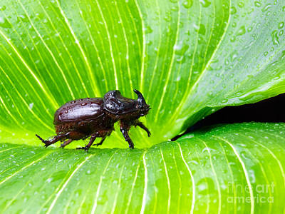 Royalty-Free and Rights-Managed Images - Rhino beetle by Sinisa Botas