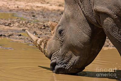 Rhino Drinking Art Print