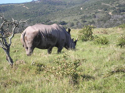 Photograph - Rhino On Safari 1 by Karen Jane Jones