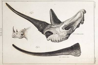 Aphrodisiac Photograph - Rhino Skull By Everard Home by Paul D. Stewart