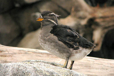 Auklets Photograph - Rhinoceros Auklet by Frank Townsley