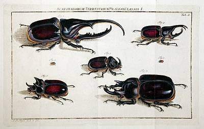 Rhinoceros Photograph - Rhinoceros Beetles by Paul D Stewart