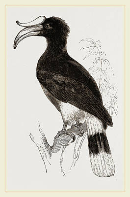Hornbill Drawing - Rhinoceros Hornbill by Litz Collection