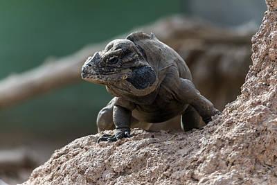 Photograph - Rhinoceros Iguana by Mark Newman