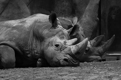 Photograph - Rhinos by David Andersen