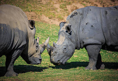 Photograph - Rhinos by Matthew Onheiber