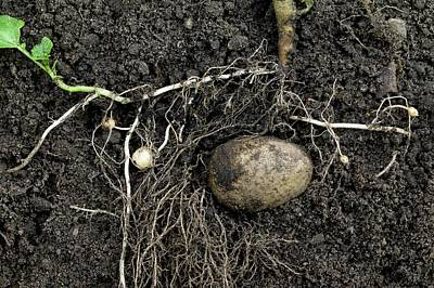 Rhizomes Of The Potato Plant Art Print by Dr Jeremy Burgess