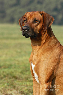 Photograph - Rhodesian Ridgeback Dog by Dog Photos