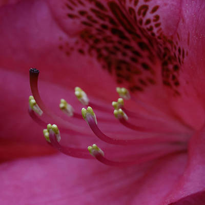 Photograph - Rhododendren Macro by David Freuthal