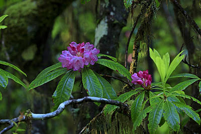 Photograph - Rhododendron 2013 by Ralph Nordstrom