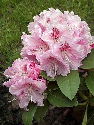 Rhododendron 'albert Schweitzer' Art Print