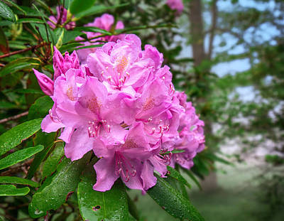 Photograph - Rhododendron At Grandview by Mary Almond