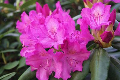 Photograph - Rhododendron by David Rizzo