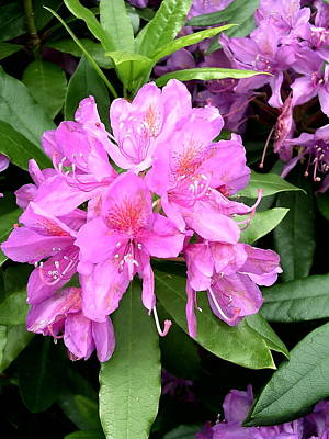 Door Locks And Handles Rights Managed Images - Rhododendron Flower Royalty-Free Image by Paul Williams