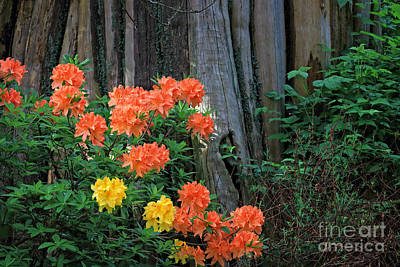 Photograph - Rhododendron Flowers by Charline Xia