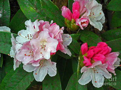 Wild Horse Paintings - Rhododendron Flowers by Ellen Miffitt