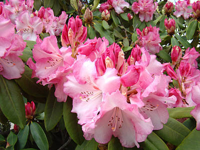 Rhododendron Garden Art Prints Pink Rhodie Flowers Art Print by Baslee Troutman