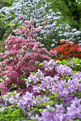 Blue Photograph - Rhododendron Garden by Frank Tschakert